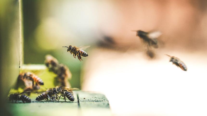 Bienen, Bienenstich