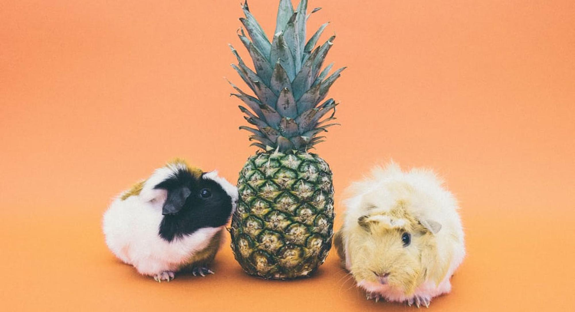 Zwei Meerschweinchen neben einer Ananas