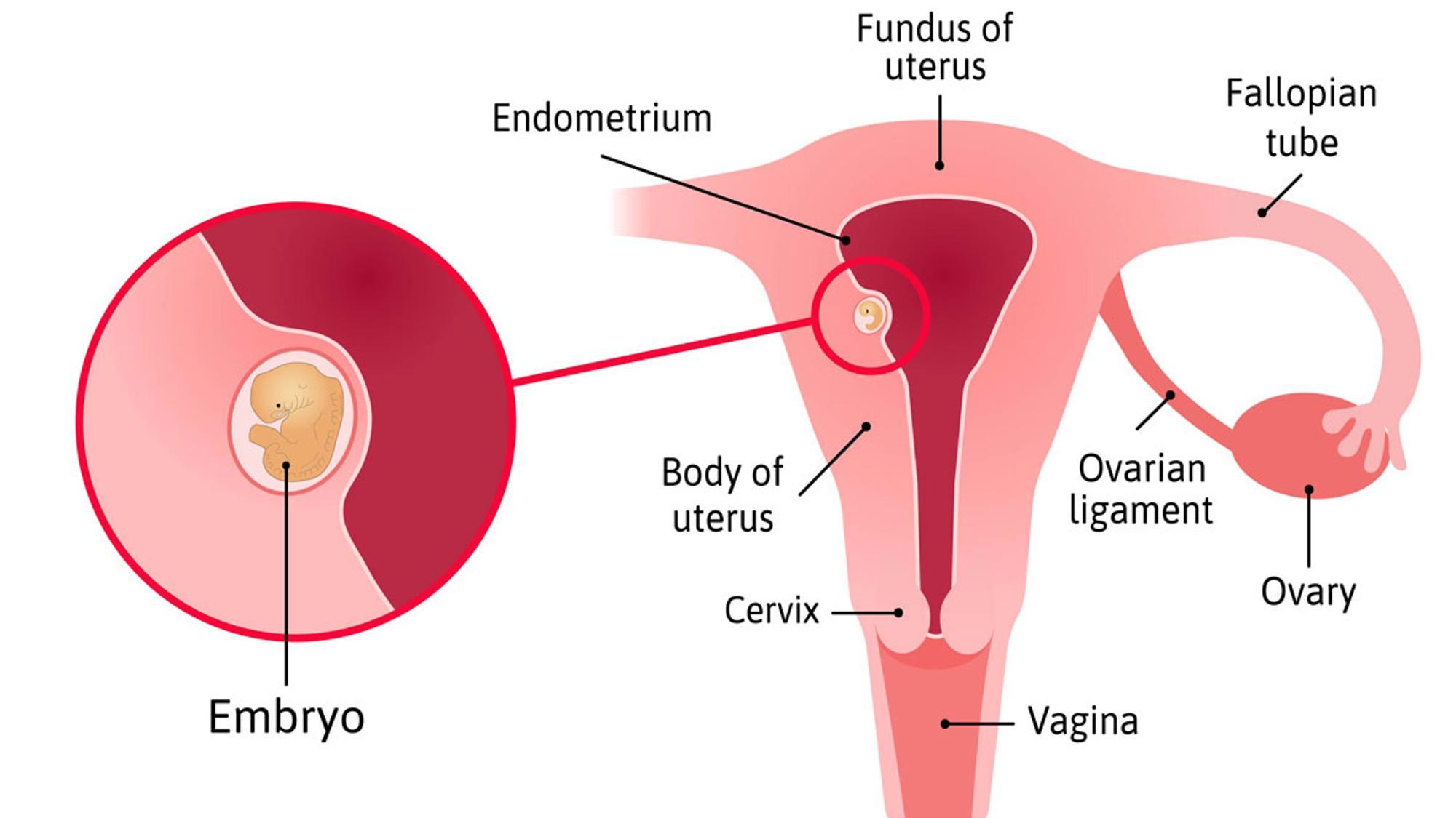 Gebärmutter im Überblick